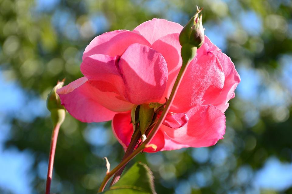 rose-3756985_960_720